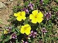 Helianthemum syriacum - Canillo, Andorra.jpg