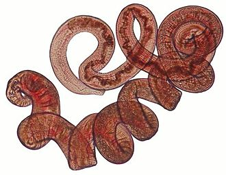 Heligmosomoides polygyrus - Heligmosomoides polygyrus adult female worm.