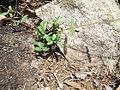 Hemidesmus indicus-3-bsi-yercaud-salem-India.JPG