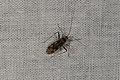 Hemiptera sp. (36368870301).jpg