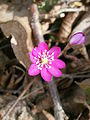 Hepatica nobilis pink close-up.JPG