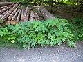 Heracleum mantegazzianum leaves.jpg