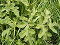 Heracleum sphondylium blad.jpg