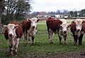 Herefords, Much Marcle - geograph.org.uk - 722208.jpg