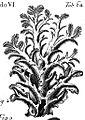 Hericium coralloides (Micheli, 1729).jpg