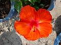 Hibiscus bright orange.jpg