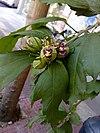 Hibiscus syriacus Lavender Chiffon 01.jpg
