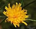 Hieracium vulgatum inflorescence (08).jpg