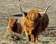 Highland Cow and Calf.jpg