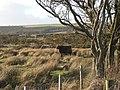 Highland cattle on Rhos Fiddle - geograph.org.uk - 706193.jpg