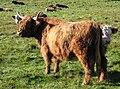 Highland cattles Djurgården 2009.jpg