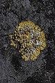 Hilden 25.05.2017 Caloplaca flavescens (35527525146).jpg