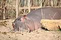 Hippopotamus amphibius at the Denver Zoo-2012 03 12 0823.jpg