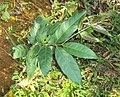 Hiptage benghalensis 01.JPG
