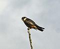 Hobby (Falco subbuteo).jpg