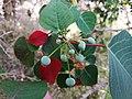 Homalanthus39571277061 d24e03b944 o.jpg