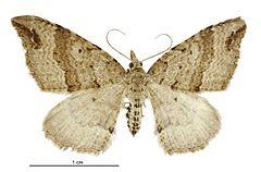 240px homodotis falcata female