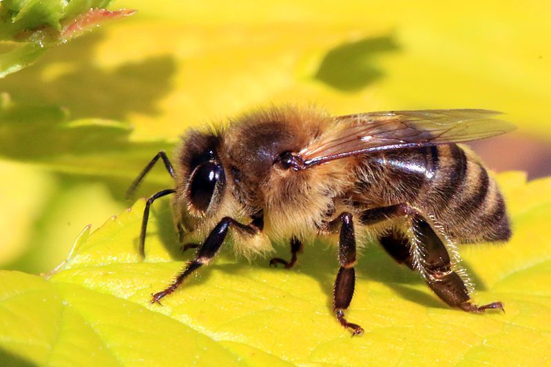 File:Honey bee (Apis mellifera).jpg