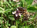 Honey bee collecting nectar from Frogfruit (Phyla nodiflora).jpg