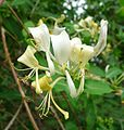 Honeysuckleor Woodbine. Lonicera periclymenum - Flickr - gailhampshire.jpg