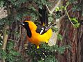 Hooded oriole (9154173510).jpg