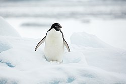 Hope Bay-2016-Trinity Peninsula–Adélie penguin (Pygoscelis adeliae) 02.jpg