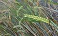 Hordeum vulgare winterbarley, wintergerst aar (1).jpg