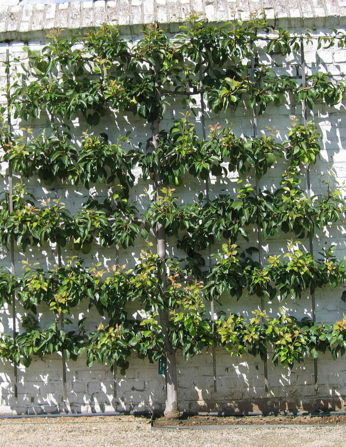 Espalier wikipedia - Growing french walnuts for a profit ...