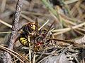 Hornet fight ? (9654319157).jpg