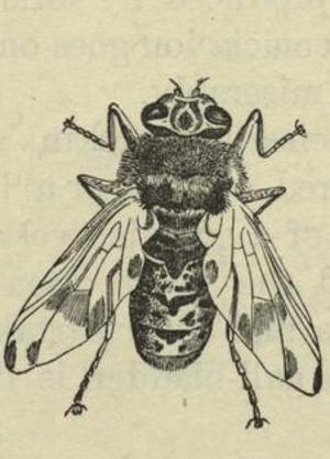 Botfly - Horse botfly (Gasterophilus intestinalis)