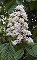 Horse Chestnut Flower (5648893893).jpg