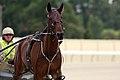 Horse Trotting (6700570765).jpg