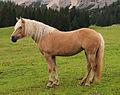 Horse on Ehrwalder Alm.jpg