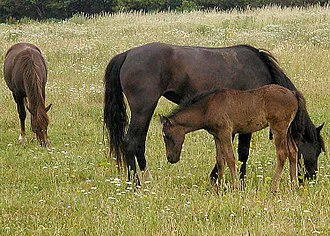 Horse breeding - Mares and a foal