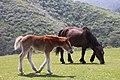 Horses at Kuniga coast, Nishinoshima (2).jpg