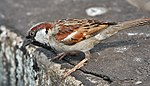 House Sparrow (Passer domesticus)- Male in Kolkata I IMG 5904.jpg