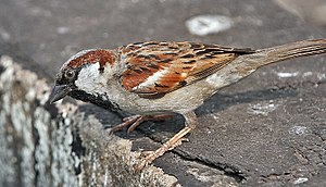 A male House Sparrow (Passer domesticus) in Ko...