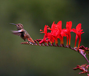 A hummingbird at Crocosmia. The image was take...