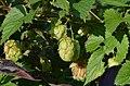 Humulus lupulus ms 1.jpg