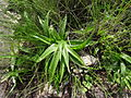 Hyacinthaceae - Montepuez green leaf (22577167891).jpg