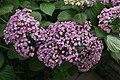 Hydrangea macrophylla Ayesha 0zz.jpg