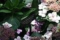 Hydrangea macrophylla Tokyo Delight 6zz.jpg