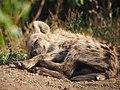 Hyena cub (20696068374).jpg