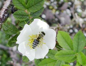 نحل العسل من رتبة غشائية الأجنحة