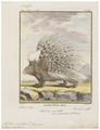 Hystrix cristata - 1700-1880 - Print - Iconographia Zoologica - Special Collections University of Amsterdam - UBA01 IZ20600035.tif