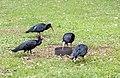 Ibis Eremita in libertà.jpg