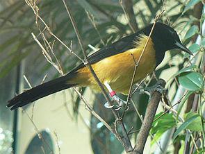 Icterus oberi (Männchen)