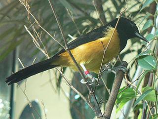 Montserrat oriole species of bird
