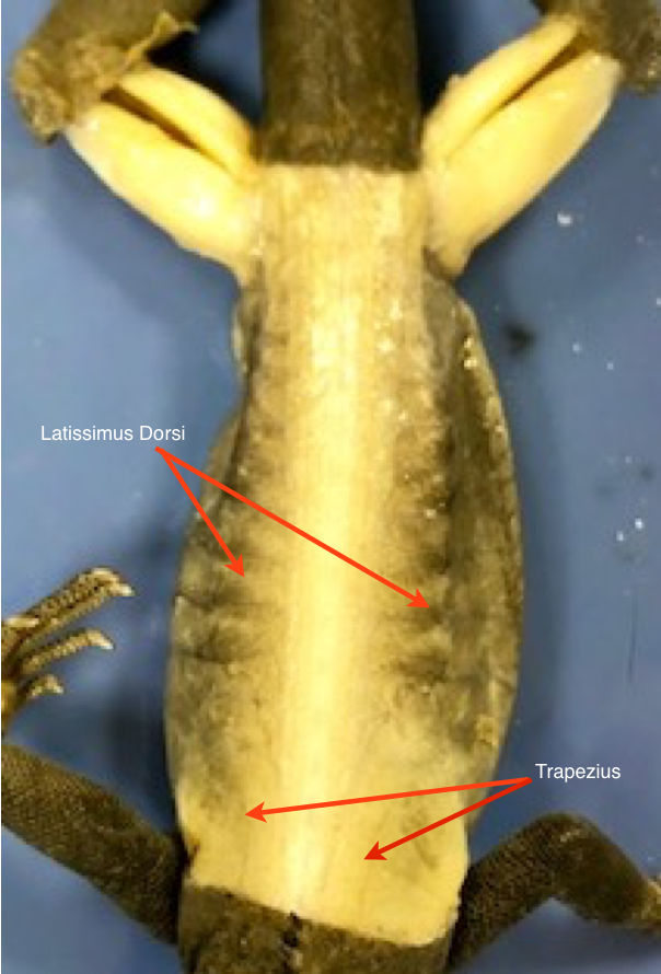 Iguana Dorsal Muscles Labeled