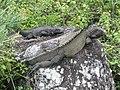 Iguanas (6562200809).jpg